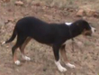 Campaspe Bruno 4 mths