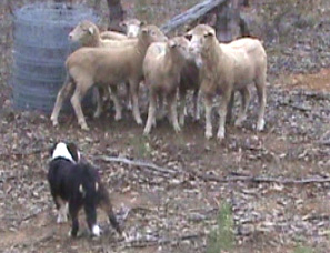 Campaspe Tammy 5 mths