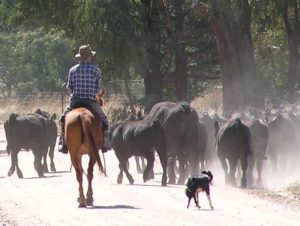 Tully Williams working cattle with Cullens Kiara