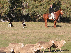 Tully Williams working border collie sheepdogs