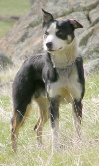 Working border collie sheepdog Campaspe Bounce