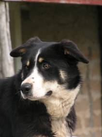 Working border collie sheepdog Campaspe Sue