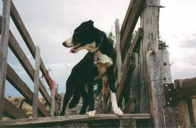 Working border collie sheepdog Chocker