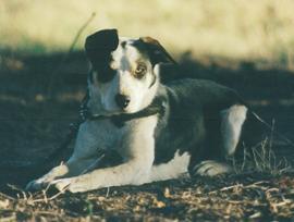 Working border collie sheepdog Moorlands Georgie