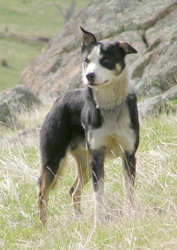 Campaspe Bounce border collie sheepdog